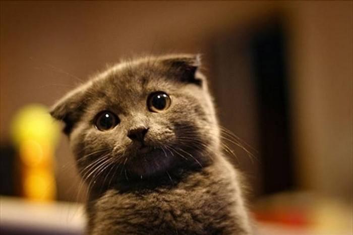 关于宠物猫掉毛的主要原因